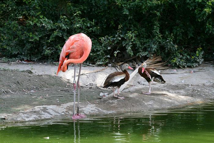 des-canards-qui-pensent-quils-sont-des-flamants-rose-1