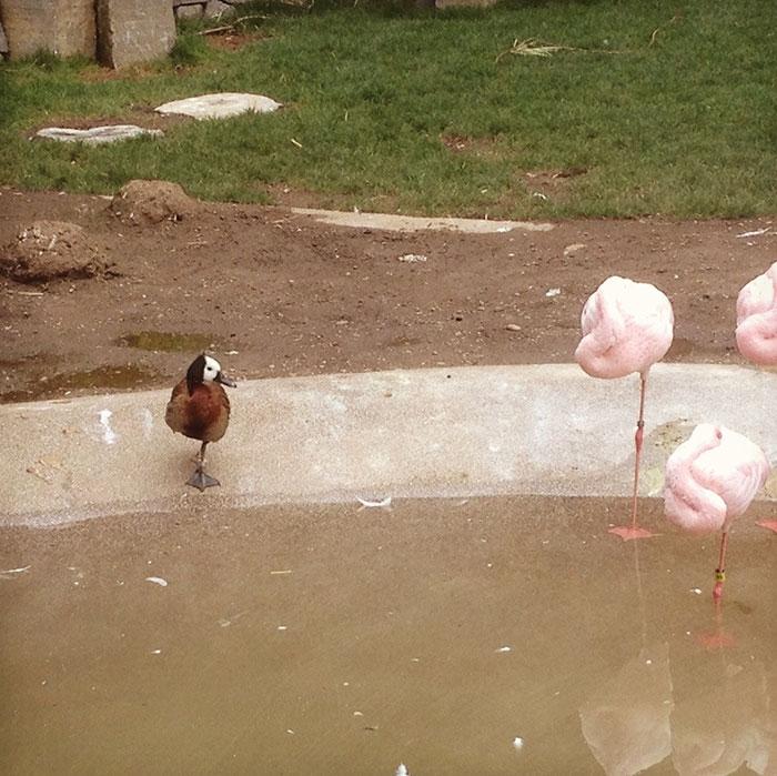 des-canards-qui-pensent-quils-sont-des-flamants-rose-2