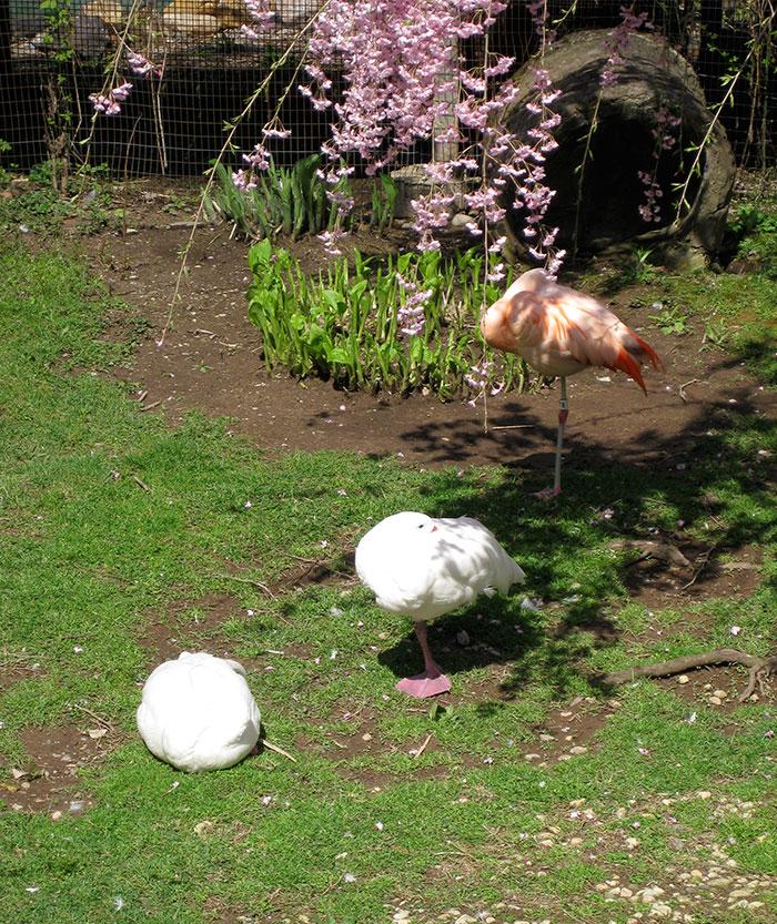 des-canards-qui-pensent-quils-sont-des-flamants-rose-4
