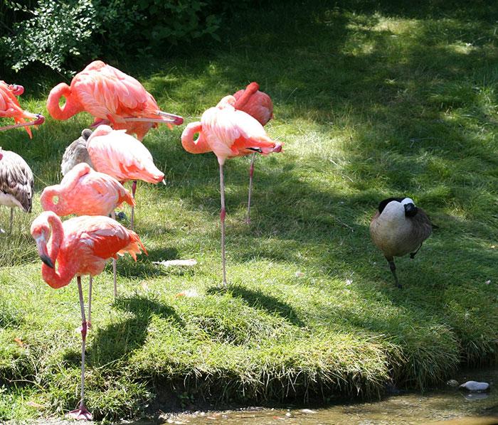 des-canards-qui-pensent-quils-sont-des-flamants-rose-5