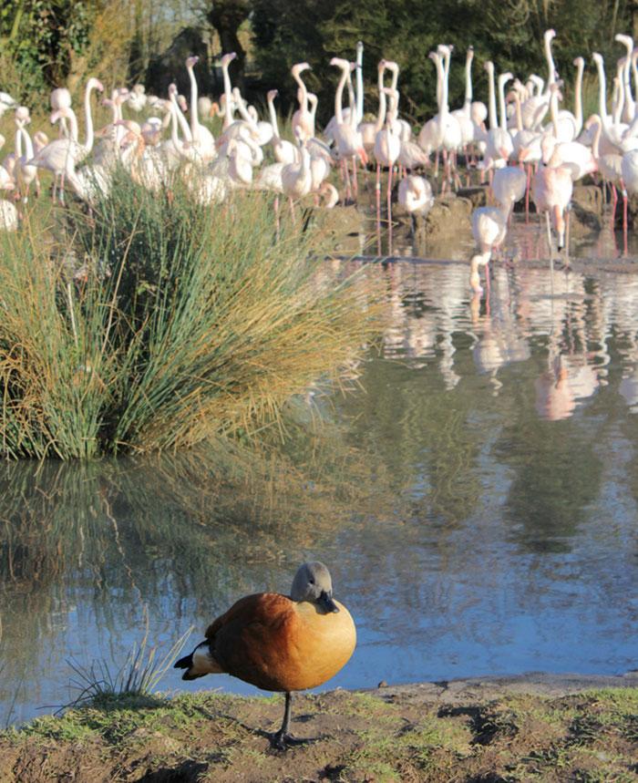 des-canards-qui-pensent-quils-sont-des-flamants-rose-6