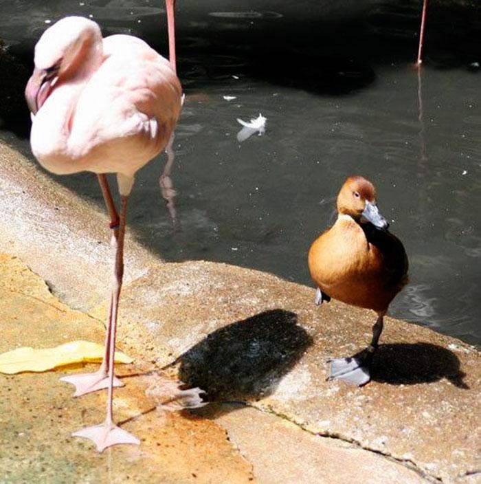 des-canards-qui-pensent-quils-sont-des-flamants-rose-7