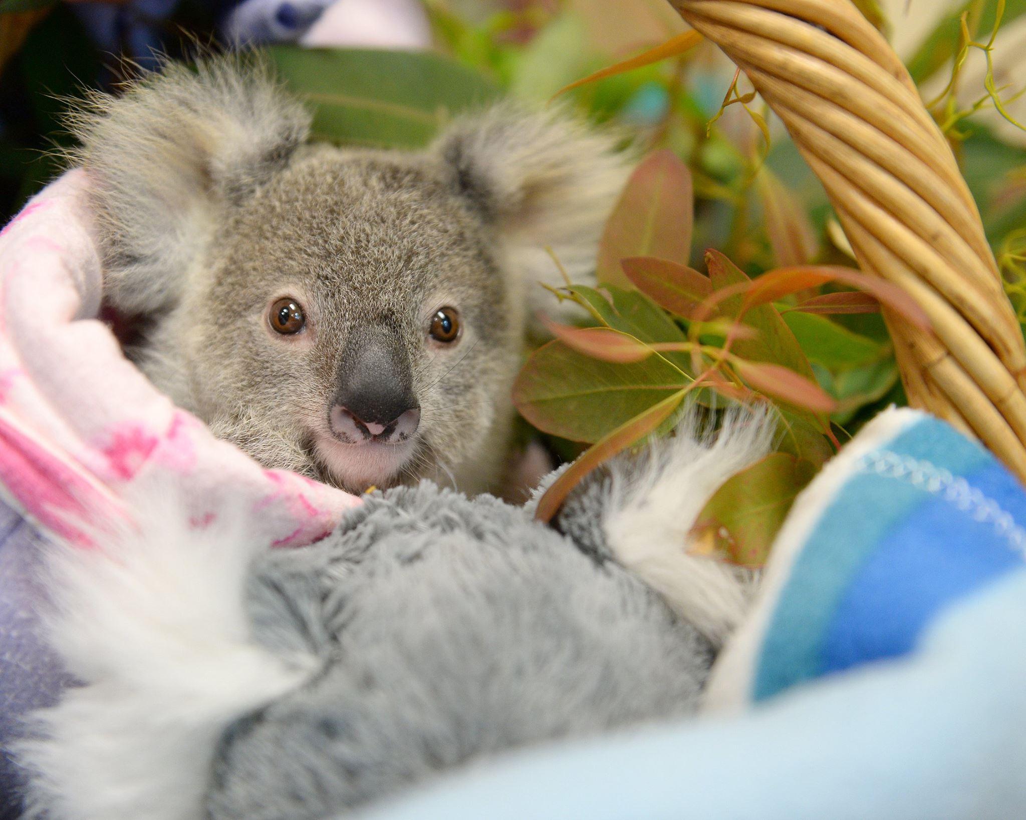 Ce bébé koala trouve du réconfort avec un jouet en peluche après avoir perdu sa maman