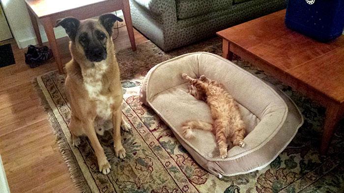 ces-chats-ont-voles-aux-chiens-leur-lit-11