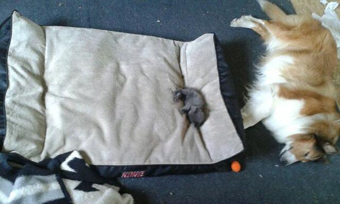 ces-chats-ont-voles-aux-chiens-leur-lit-4