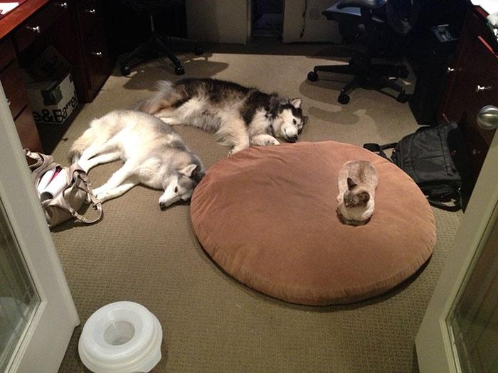 ces-chats-ont-voles-aux-chiens-leur-lit-7