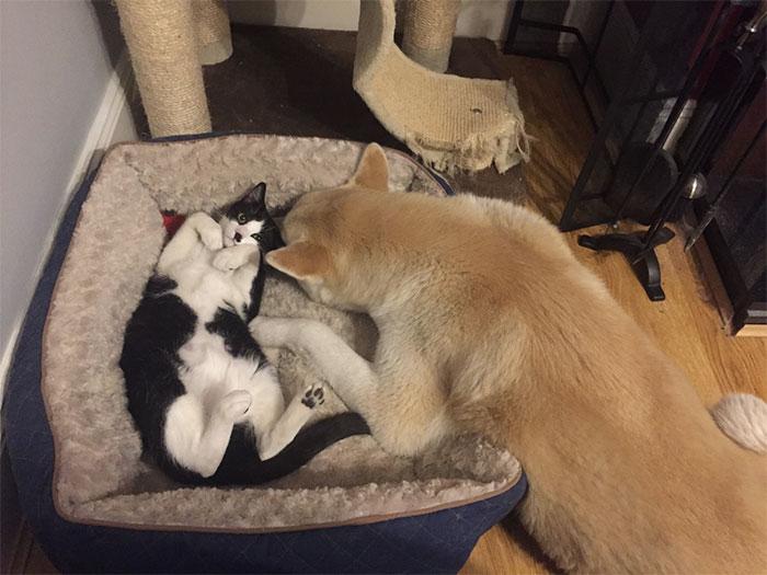 ces-chats-ont-voles-aux-chiens-leur-lit-8
