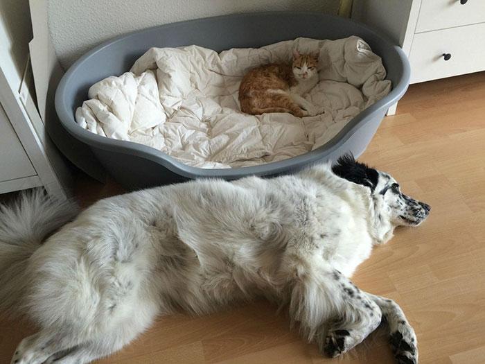 ces-chats-ont-voles-aux-chiens-leur-lit-9