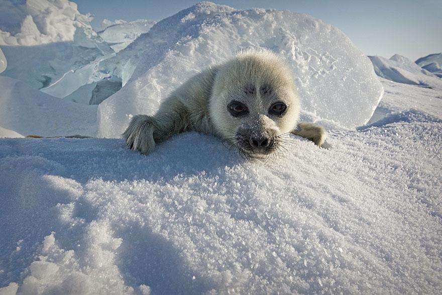 cute-baby-seal-waves-photographer-alexy-trofimov-russia-01a