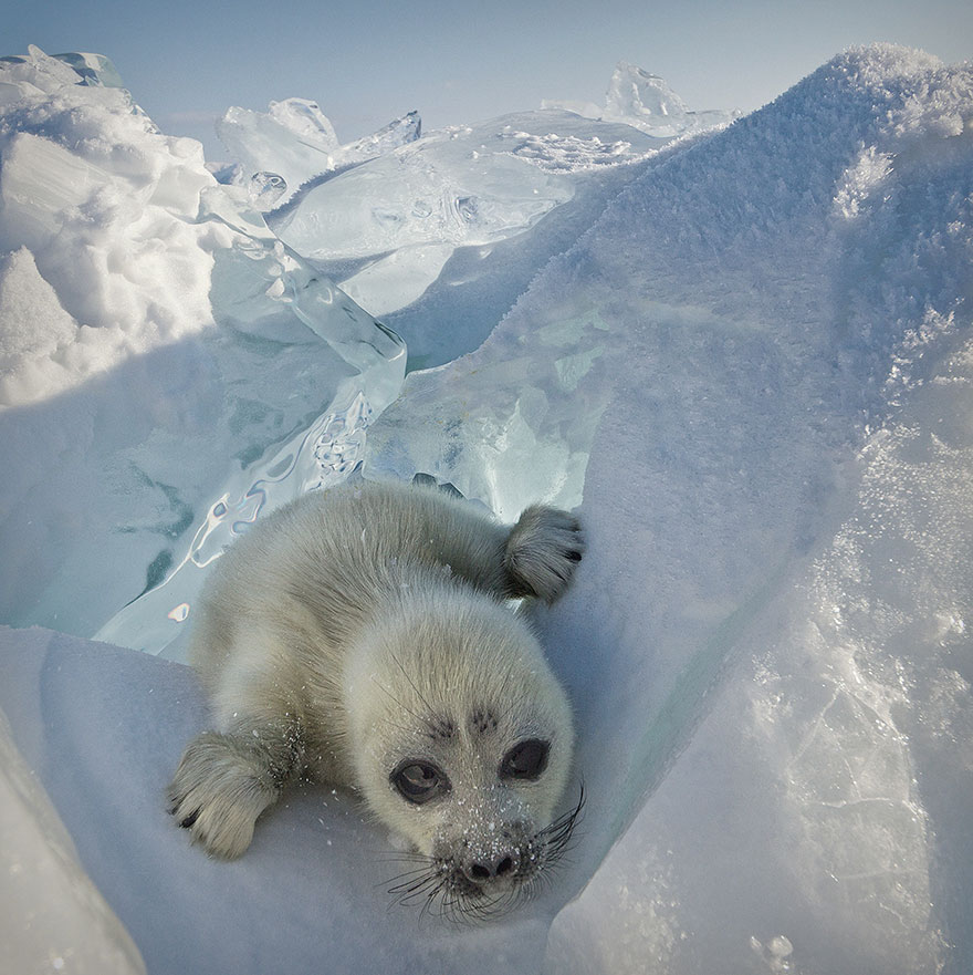 cute-baby-seal-waves-photographer-alexy-trofimov-russia-02a