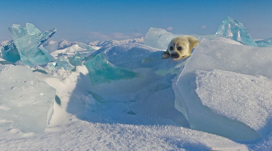 cute-baby-seal-waves-photographer-alexy-trofimov-russia-03a