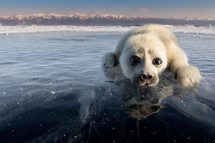 cute-baby-seal-waves-photographer-alexy-trofimov-russia-07a