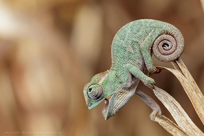 Vous allez tomber amoureux de ces bébés caméléons