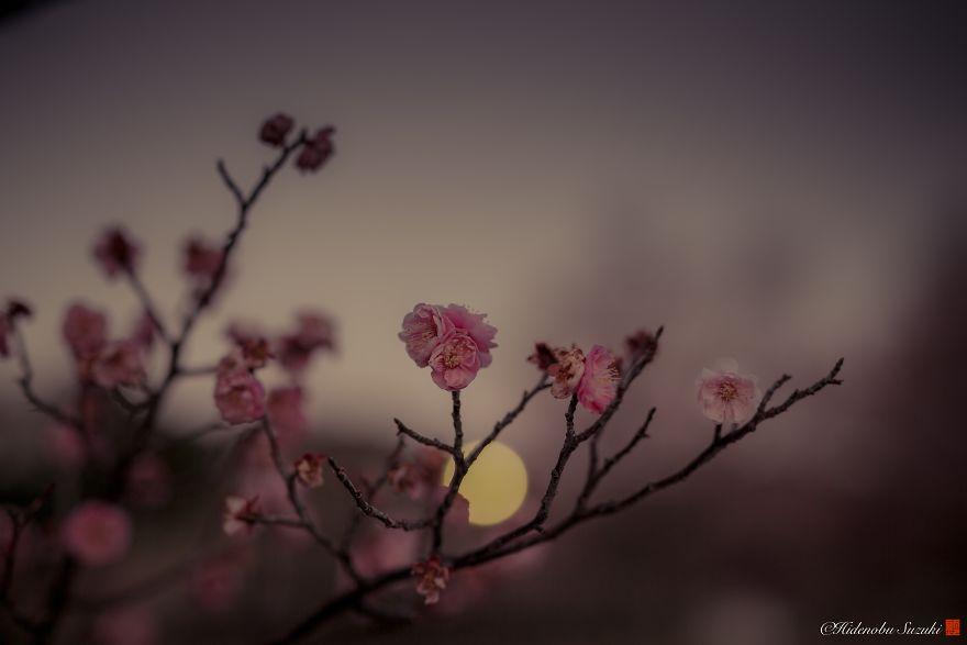 Il photographie les pruniers fleurissant au Japon