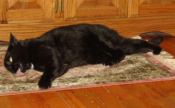 Plus de 45 chats qui ont perdu leur bataille contre l'herbe à chat