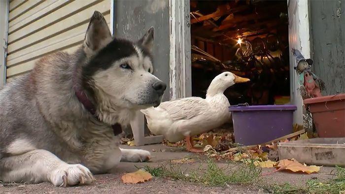 Une amitié improbable entre chien et canard surprend une petite ville dans le Minnesota