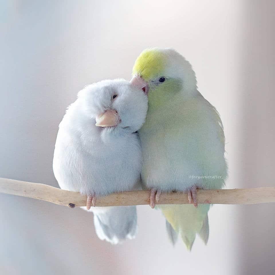 Ces photos capturent l'amour entre des perruches moineau