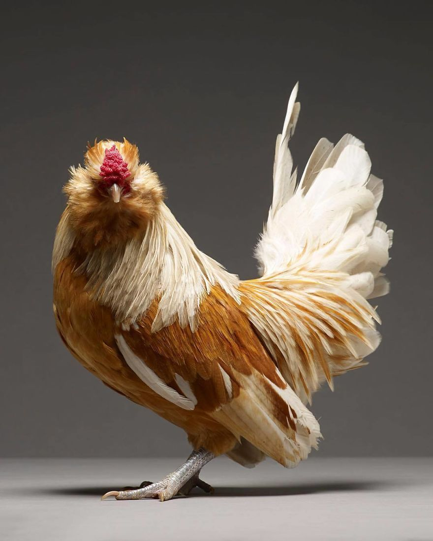 Ils ont photographié des centaines de  magnifiques poulets, regardez-les!