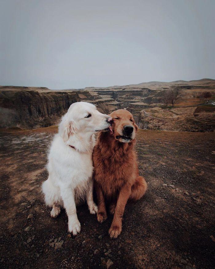 Plus de 20 fois ou les retrievers ont prouvés qu'ils sont les meilleurs chiens de tous les temps