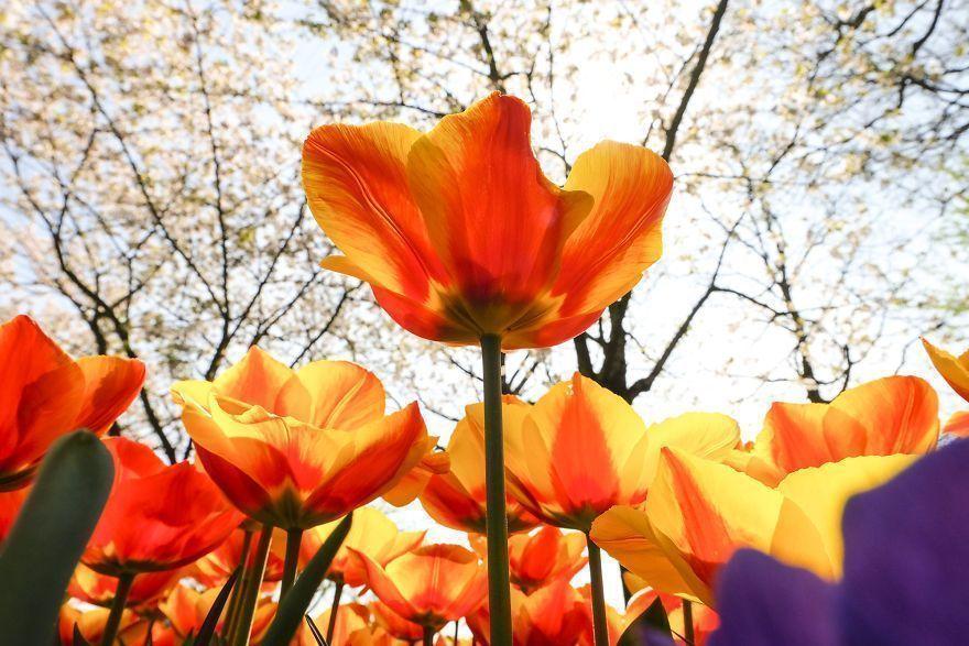 L'incroyable transformation des Pays-Bas lorsque 7 millions de tulipes fleurissent d'un seul coup.