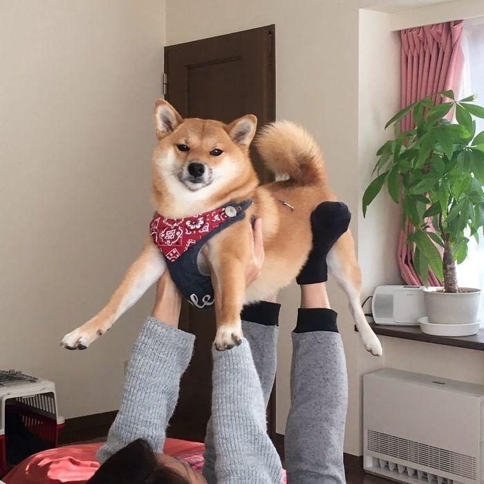 Plus de 20 fois ou les shibas ont prouvé qu'ils sont les chiens les plus impressionnants.