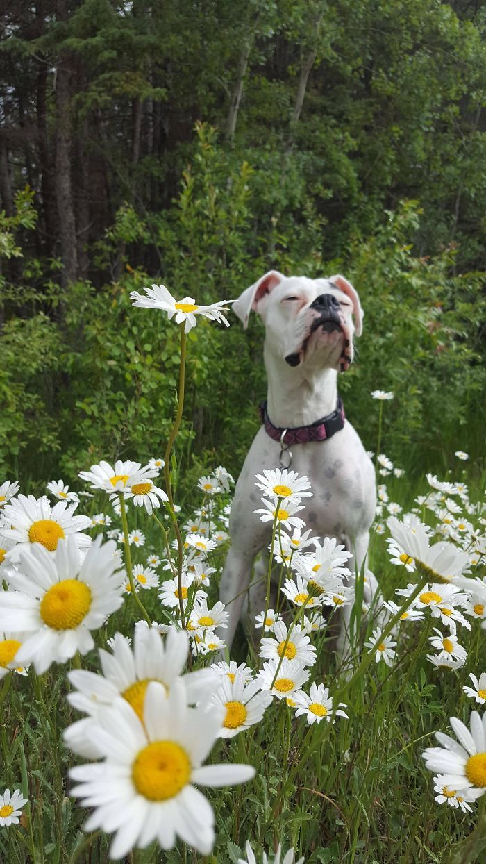 Des photos hilarantes qui prouvent que les boxers sont les chiens les plus étranges et les plus adorables de tous les temps.