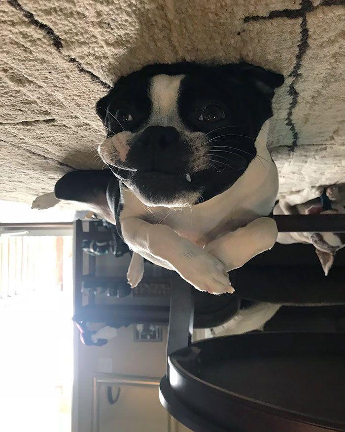 Plus de 25 photos hilarantes de 'chien ballon' qui ont flotté jusqu'au plafond