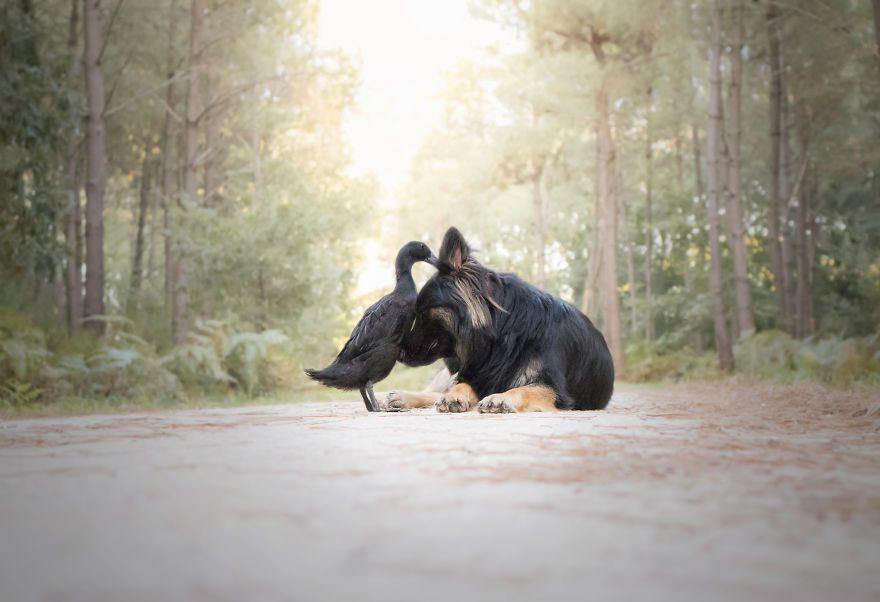 L'amitié inattendue entre un chien et un canard
