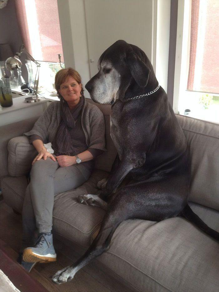 Les gens montrent des photos hilarantes de leurs dogue allemand et c'est fou comme ils sont grands.