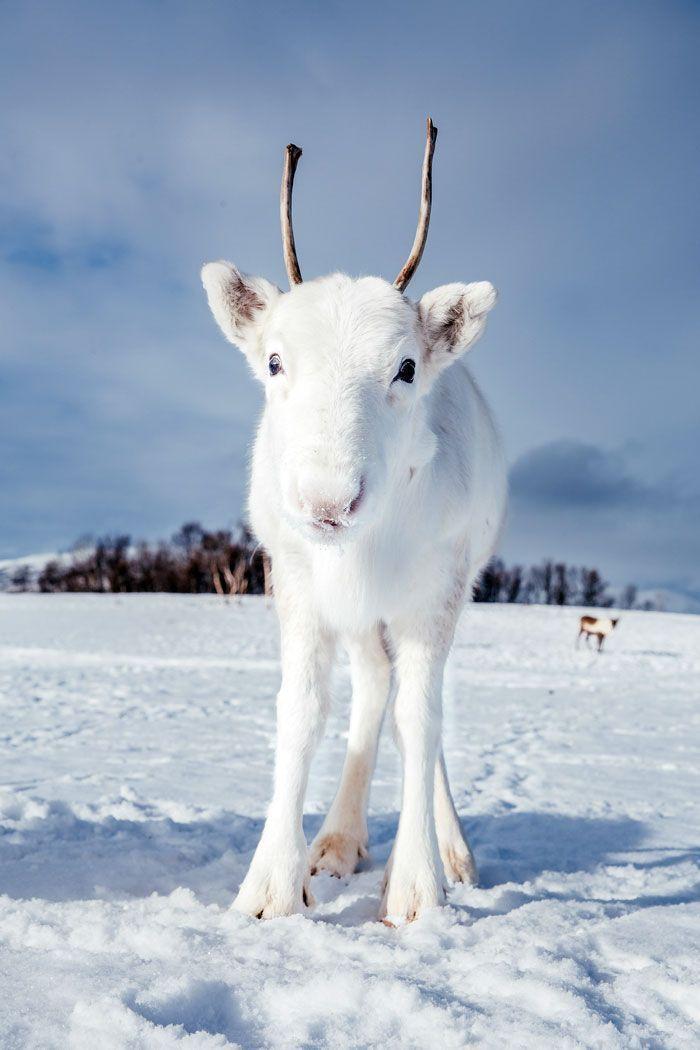 Un photographe capture un bébé renne blanc extrêmement rare lors d'une randonnée en Norvège (6 photos)