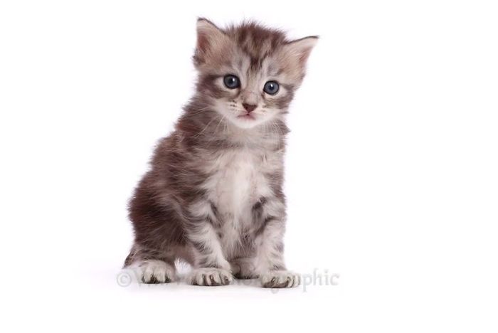 This Fascinating Time-Lapse Video Shows A Maine Coon Growing Up In Just 20 Seconds