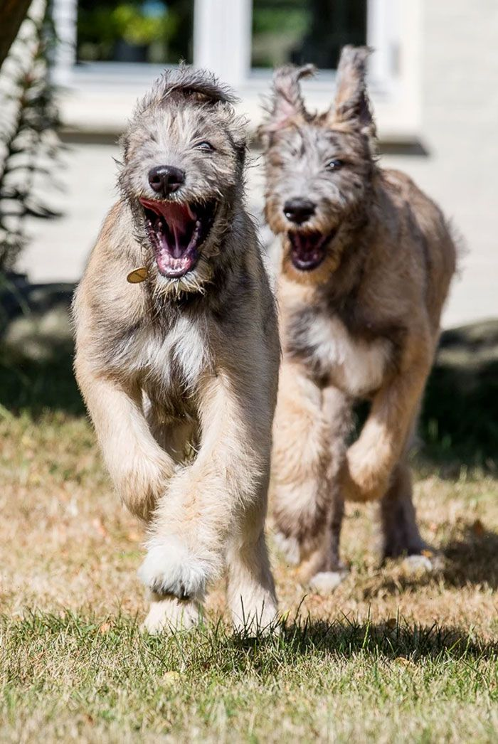 People Are Posting Hilarious Photos Of Their Irish Wolfhounds, And It's Crazy How Large They Are (50 Pics)