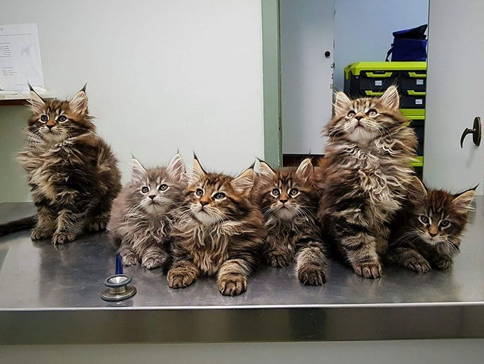 90 Of The Cutest Maine Coon Kittens Ever