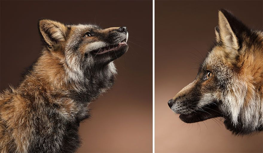 I Jumped At The Opportunity To Photograph Foxes In My Studio