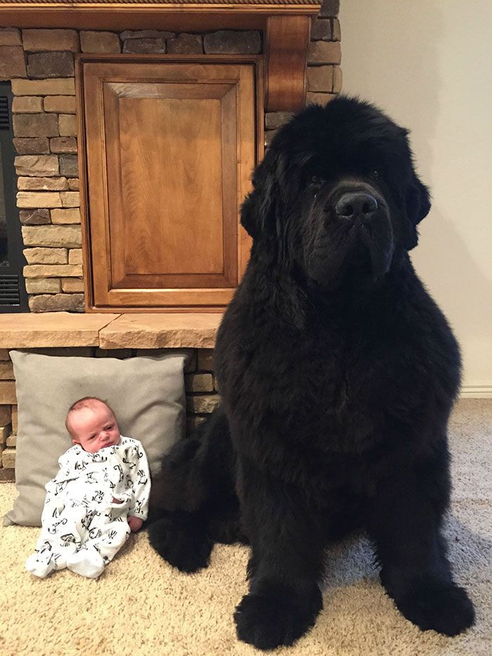 People Are Posting Funny And Cute Photos Of Their Newfoundlands, And It's Crazy How Massive They Are
