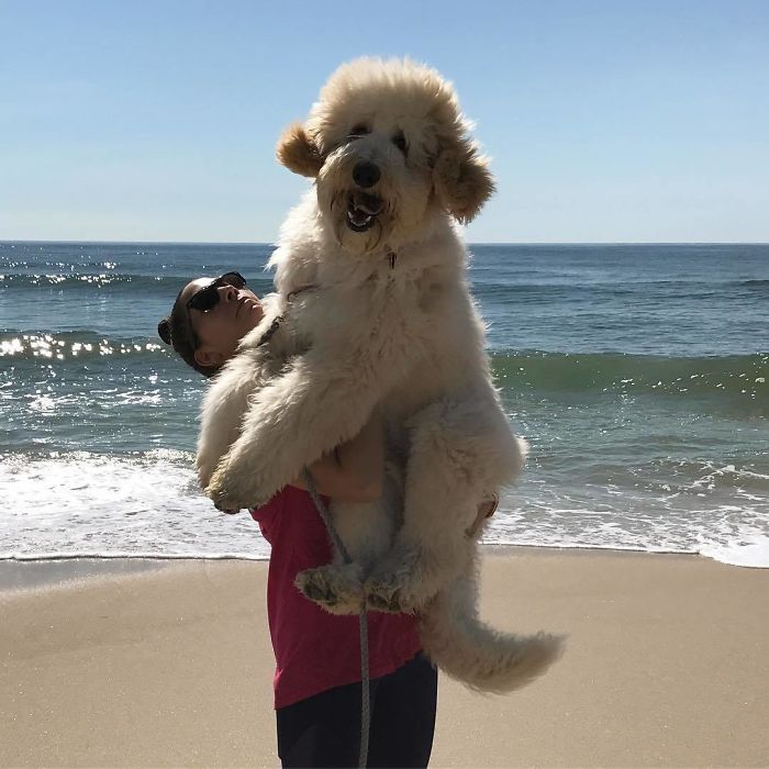 49 Adorable Photos Of Goldendoodles That Show Why They Are The Perfect Mix