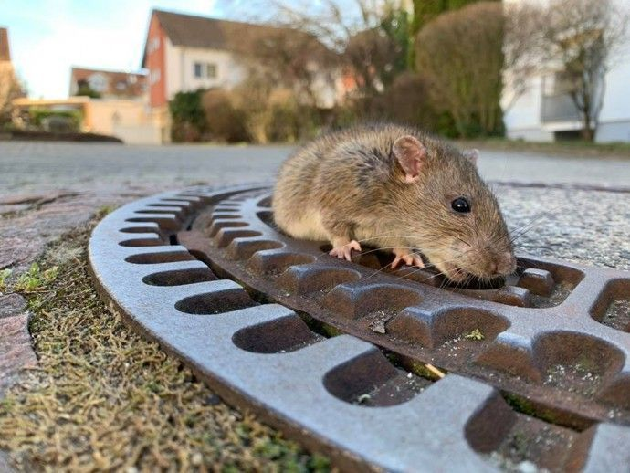 Chubby Rat Got Stuck In A Sewer Grate, And People Teamed Up To Save Her