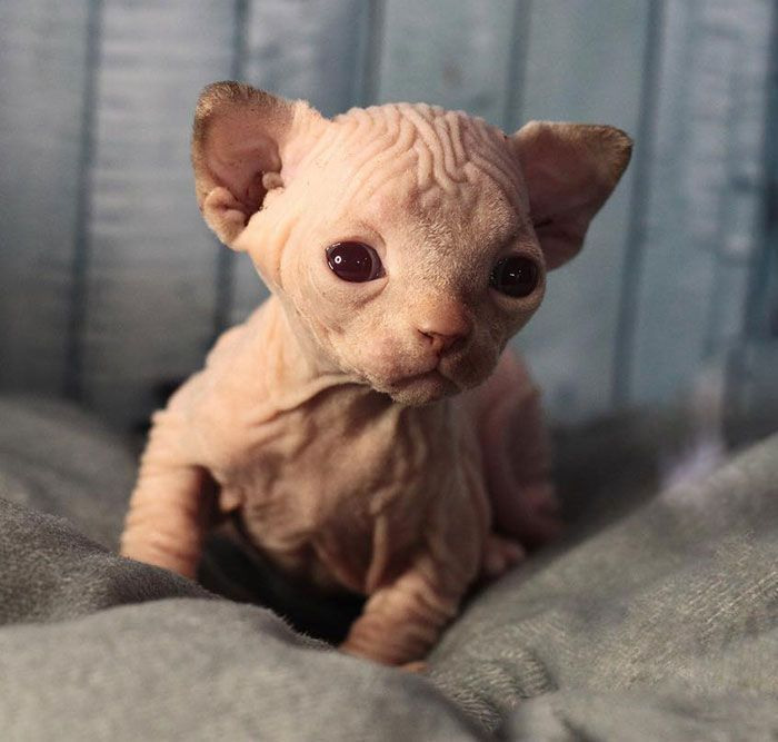 96 Of The Most Adorable Photos Of Sphynx Kittens
