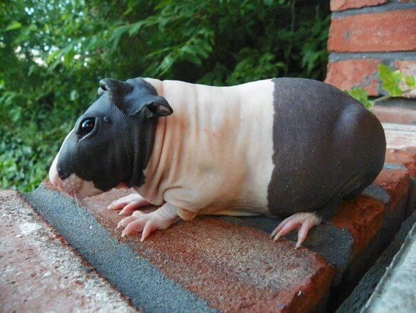 Turns Out Hairless Guinea Pigs Could Be Mistaken For Tiny Hippos, And It's Adorable