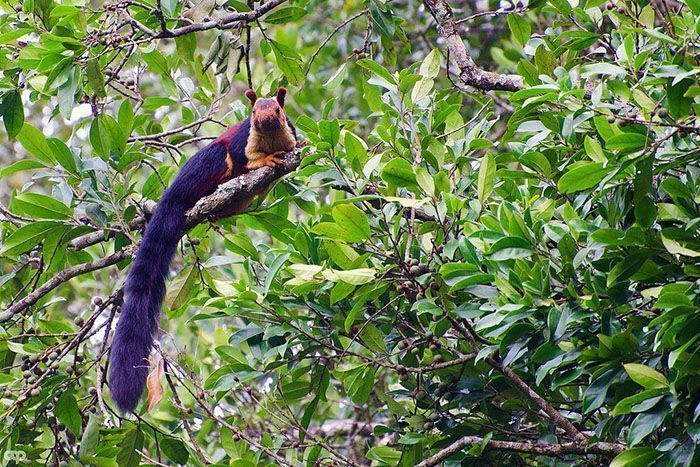 There Are Multi-Colored Giant Squirrels Living In India And People Seem To Have Just Found Out About This (17 Pics)