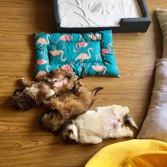 This Puppy Loves To Sleep On His Back And The Photos Are Adorable (30 Pics)