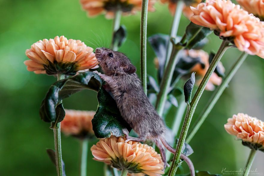 I Capture The Life Of A Little Mouse Who Was Rescued From Cat's Mouth