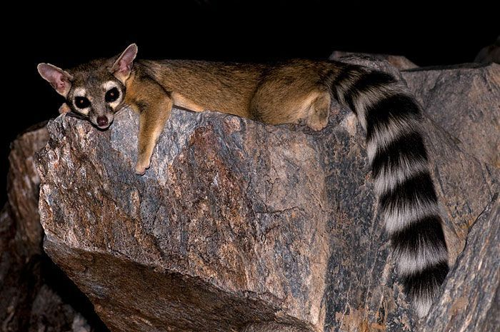 Meet The Ringtail Cat, Quite Possibly The Cutest Animal In North America