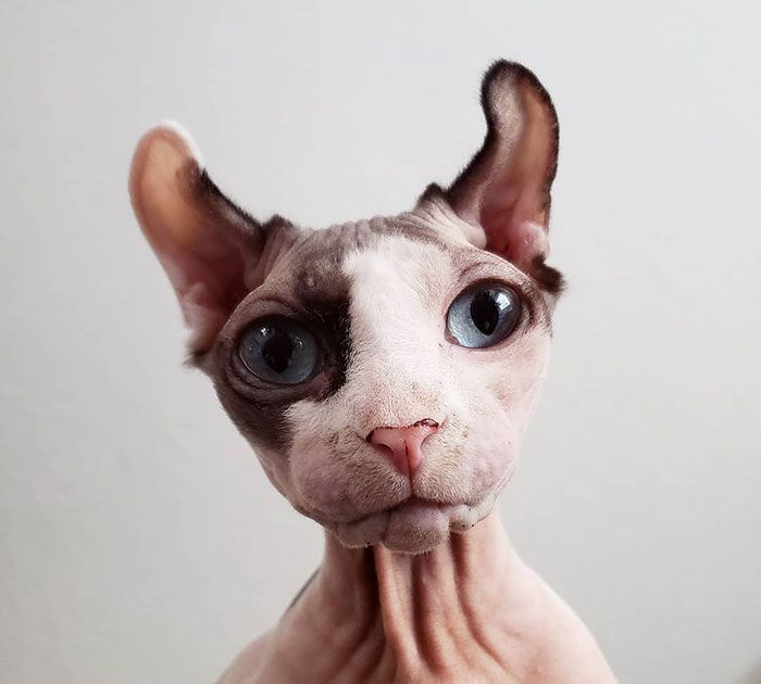 Meet Sphynx Cats – The Most Adorable Hairless Felines