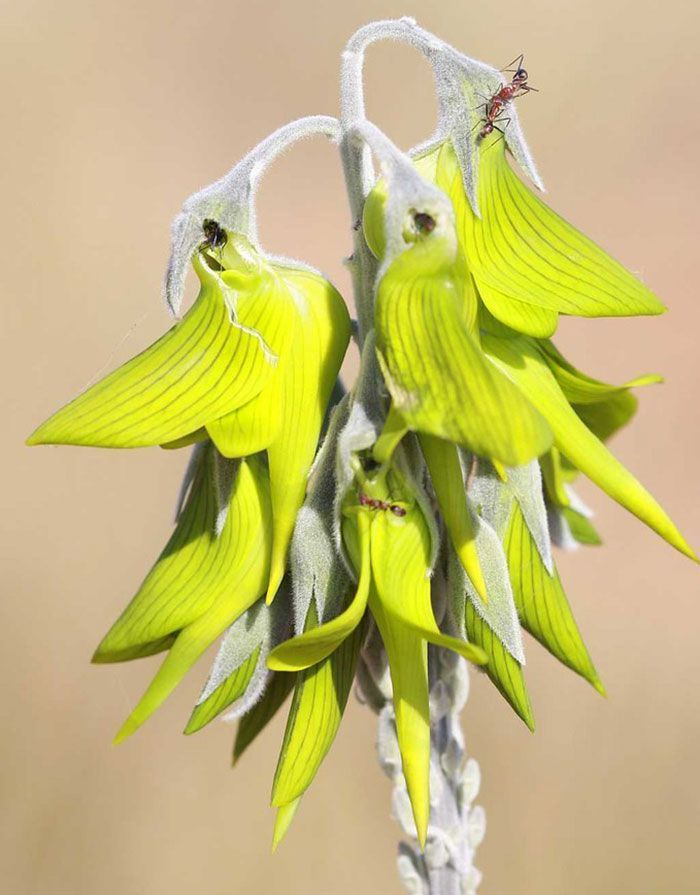 This Flower's Petals Look Like Hummingbirds