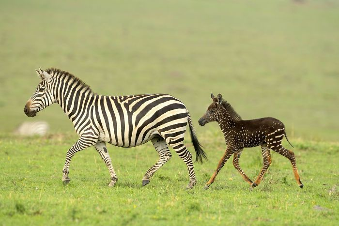 Baby Zebra Born With Spots Instead Of Stripes Is Capturing People's Hearts