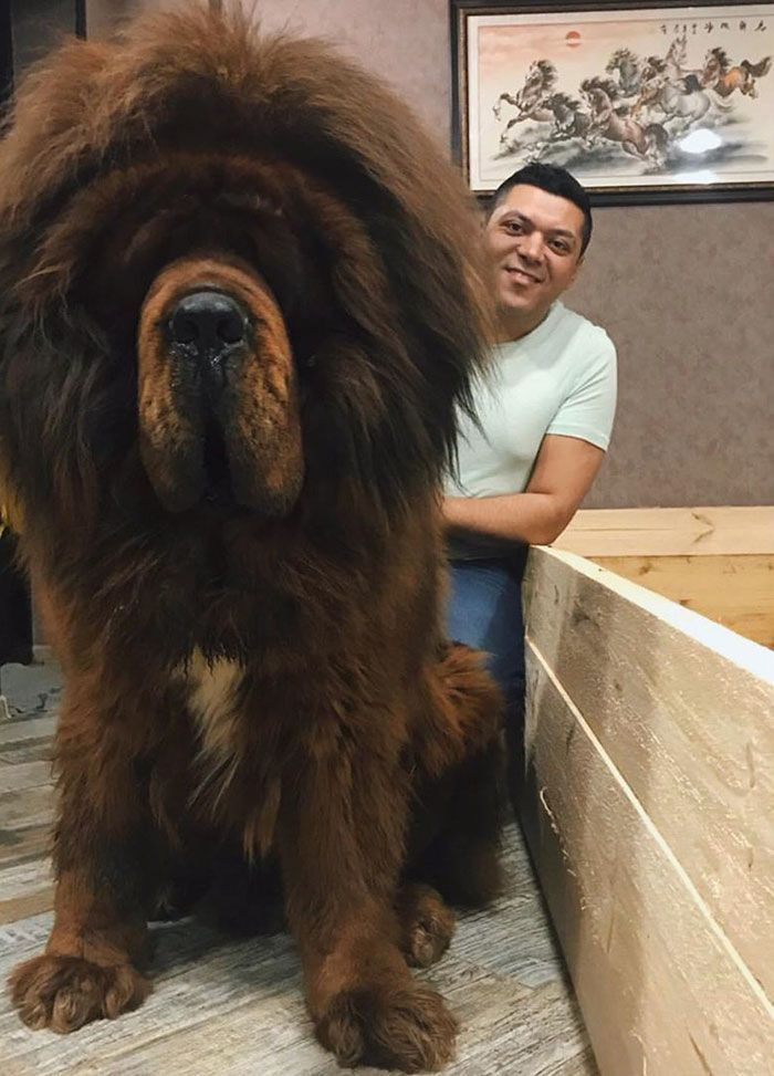 People Are Posting Funny And Cute Photos Of Tibetan Mastiffs, And They Are Truly The Gentlest Giants (30 Pics)