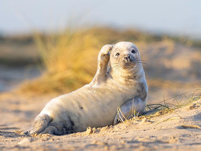 Cute Seal Waves To The Camera While Chilling On A British Beach
