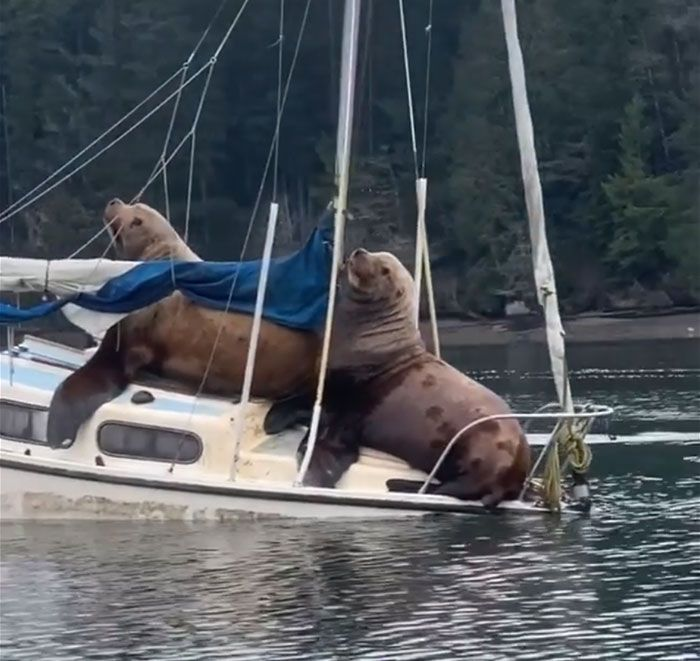 Two Gigantic Sea Lions Decide To Have A Boat Party, And The Video Is Ridiculous