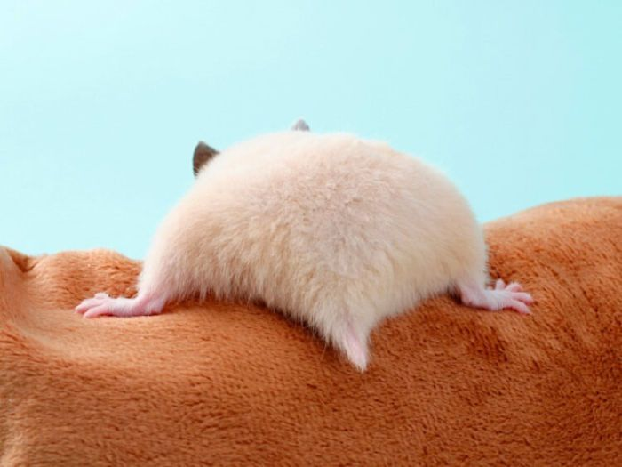 Hamsters Have The Cutest Butts And Here Are 49 Pics That Prove It